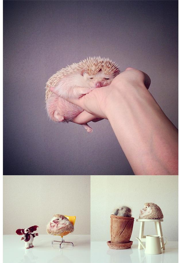 Animales en Instagram - darcytheflyinghedgehog